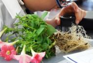 植物の根の観察